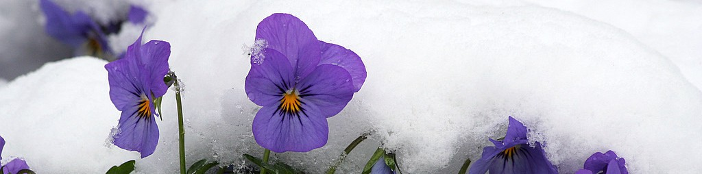 cropped-violets-in-snow1.jpg